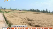 夏收正当时 贺兰小麦已收近七成-180711