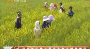 红寺堡区黄花菜产业助力脱贫富民-180717