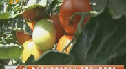 秧苗供应商拒收西红柿 平罗县农民很受伤-180802