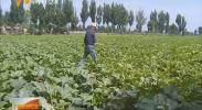 上半年平罗县农民增收动力强劲-180808