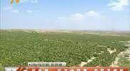 红寺堡:豇豆收获季 农民采收忙-180809