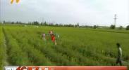 红寺堡区黄花菜产业助力脱贫富民-180823