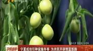 宁夏成功引种设施冬枣 为农民开辟致富新路-180809