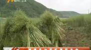 隆德县油菜籽喜获丰收-180912