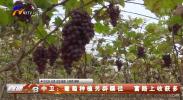 中卫:葡萄种植另辟蹊径 致富路上收获多-190101