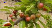 银川:特色种植桃红果香-190321