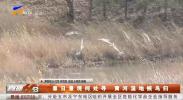 春日景观何处寻 黄河湿地候鸟归-190321