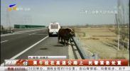 黄牛拴在高速公路上 民警紧急处置-190330