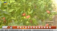 连湖水果西红柿品质优销路畅-190406