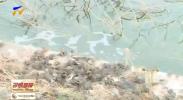 贺兰县立岗镇稻渔种养正当时 投放8万斤稻田蟹苗-190513