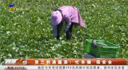 贺兰供港蔬菜:忙采摘 保安全 产销一条龙 供港蔬菜打响宁夏绿色名片-190522
