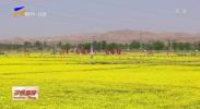 中宁县:油菜花引来游人如织