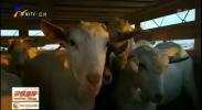 """宁夏首次进口大中型活动物 1410只新西兰种羊""""直飞""""银川-190516"""