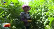 沙漠西红柿成移民增收新宠-190609