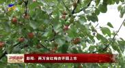 彭阳:两万亩红梅杏开园上市-190712