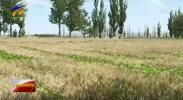 红寺堡:小麦陆续开镰-190708