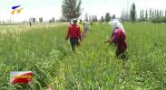 盐池:黄花菜成为农民增收花-190720