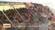 """中宁:枸杞树下养鸡忙 脱贫致富""""钱""""最旺-190828"""