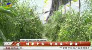 """错季上市 冬枣成""""新宠""""-190824"""