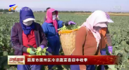 固原市原州区冷凉蔬菜喜迎丰收季-190930