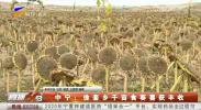 中宁:徐套乡千亩食葵喜获丰收-191025