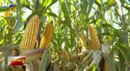 宁夏加快玉米优良新品种选育推广示范步伐-191020