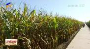 宁夏加快玉米优良新品种选育推广示范步伐-191014
