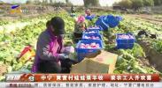 中宁:黄营村娃娃菜丰收 菜农工人齐欢喜-191112