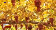 技术革新让葡萄鲜果错季上市提质增收 -191221