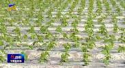 """万众一心 阻击疫情 西夏区:调整种植结构 守好""""菜园子"""" 保障""""菜蓝子-200207"""