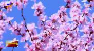 """古城平罗 花开""""争""""春色-200330"""