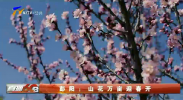 彭阳:山花万亩迎春开-200325
