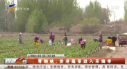 青铜峡:供港蔬菜进入采摘季-200427