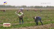 青铜峡:供港蔬菜进入采摘季-200428