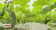 银川金凤区:发展高效种植业 促农民增收-200407