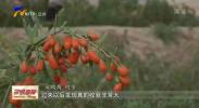 中宁枸杞熟了 客商慕名而来-200628