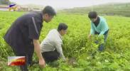 决战脱贫攻坚  海原县:小土豆带来好光景-20200906