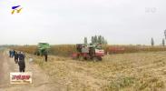 宁夏玉米籽粒直收测产 平均亩产1252.58公斤创今年单产最高纪录量-20201012