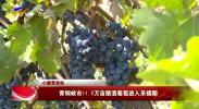 小康带货站丨青铜峡市11.9万亩酿酒葡萄进入采摘期-20201017