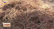 红寺堡区:甘草种植种出新希望-20201126