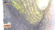 泾源县:悬崖酿出软黄金-20201201