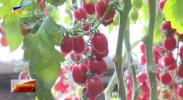 贺兰县:温室大棚采摘忙 高品质樱桃番茄丰收正当时-20210128