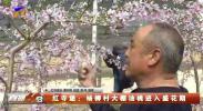 红寺堡:杨柳村大棚油桃进入盛花期-20210219