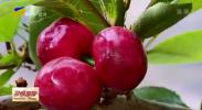贺兰县:大棚樱桃上市 采摘尝鲜正当时-20210316