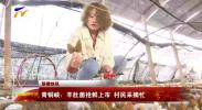 青铜峡市:羊肚菌抢鲜上市 村民采摘忙-20210313