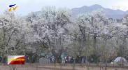 中卫南北长滩梨花带雨引客来-20210405