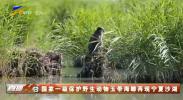 国家一级保护野生动物玉带海雕再现宁夏沙湖-20210612