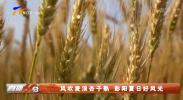 风吹麦浪杏子熟 彭阳夏日好风光-20210709
