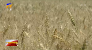 宁夏灌区春小麦示范种植亩产量再创新高-20210712