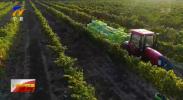 """九大产业看发展·聚焦国家级葡萄酒产业""""综试区"""" 新闻特写:带动千亿级大产业 把小葡萄作出大文章-20210712"""